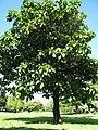 Starr-091104-0784-Artocarpus sericicarpus-habit-Kahanu Gardens NTBG Kaeleku Hana-Maui (24356991624).jpg