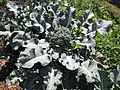 Starr-091108-9382-Brassica oleracea var botrytis-broccoli florets-Olinda-Maui (24362374783).jpg