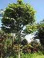 Starr-110330-4032-Canarium ovatum-habit-Garden of Eden Keanae-Maui (24454268623).jpg
