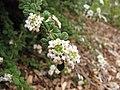 Starr-110621-6291-Lippia micromera-flowers-Hawea Pl Olinda-Maui (24729657289).jpg