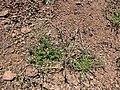 Starr-110727-7996-Arenaria serpyllifolia-habit-Polipoli-Maui (24983841092).jpg