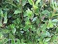 Starr-120305-3520-Laurus nobilis-leaves-Park Building 11 HNP-Maui (25111063796).jpg