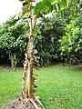 Starr-120606-6839-Musa x paradisiaca-Maoli Maia Koae or Manini variegated fruiting habit-Kahanu Garden NTBG Hana-Maui (25118045136).jpg