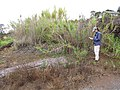 Starr-120620-7478-Cenchrus purpureus-local napier grass habit with Kim-Kula Agriculture Station-Maui (24778058889).jpg