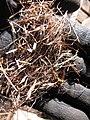 Starr-121219-1189-Heteropogon contortus-seeds in sacks-LZ Squid-Kahoolawe (25198496355).jpg