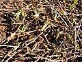 Starr-130320-3285-Mimosa pudica-leaves sleeping when touched-Mokolea Pt Kilauea Pt NWR-Kauai (24582162183).jpg