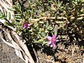 Starr-130618-5205-Sesuvium verrucosum-flowers-Kealia Pond NWR-Maui (24844972729).jpg