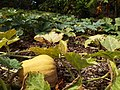 Starr-131002-2372-Cucurbita moschata-fruit and leaves-Hawea Pl Olinda-Maui (25227282885).jpg