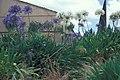 Starr-980528-4155-Agapanthus praecox subsp orientalis-flowers-Kula Experiment Station-Maui (24513874445).jpg