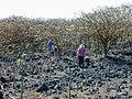 Starr 010714-0017 Erythrina sandwicensis.jpg