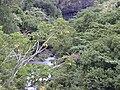 Starr 010820-0037 Schefflera actinophylla.jpg