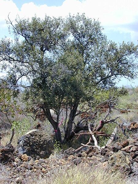 File:Starr 030424-0098 Diospyros sandwicensis.jpg