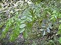 Starr 030807-0062 Pterocarpus indicus f. echinatus.jpg