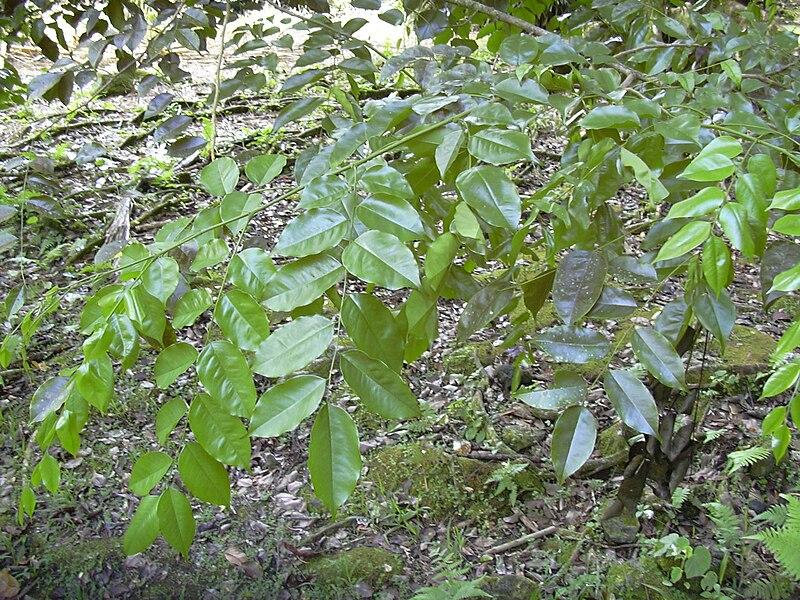 800px Starr 030807 0062 Pterocarpus indicus f echinatus