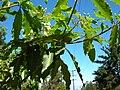 Starr 050216-4061 Pittosporum undulatum.jpg