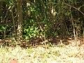 Starr 050516-1228 Eugenia uniflora.jpg