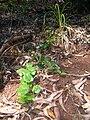 Starr 050628-2618 Smilax melastomifolia.jpg