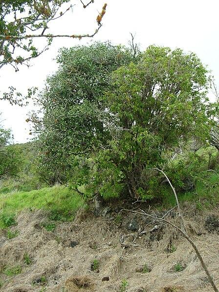 File:Starr 051105-8404 Pouteria sandwicensis.jpg