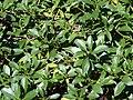 Starr 070111-3237 Myoporum sandwicense.jpg