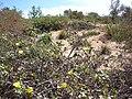 Starr 070607-7263 Eragrostis variabilis.jpg