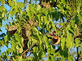 Starr 070727-7621 Pterocarpus indicus.jpg