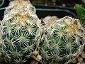 Starr 070906-9058 Mammillaria elongata.jpg