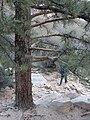 Starr 071226-0883 Pinus ponderosa.jpg