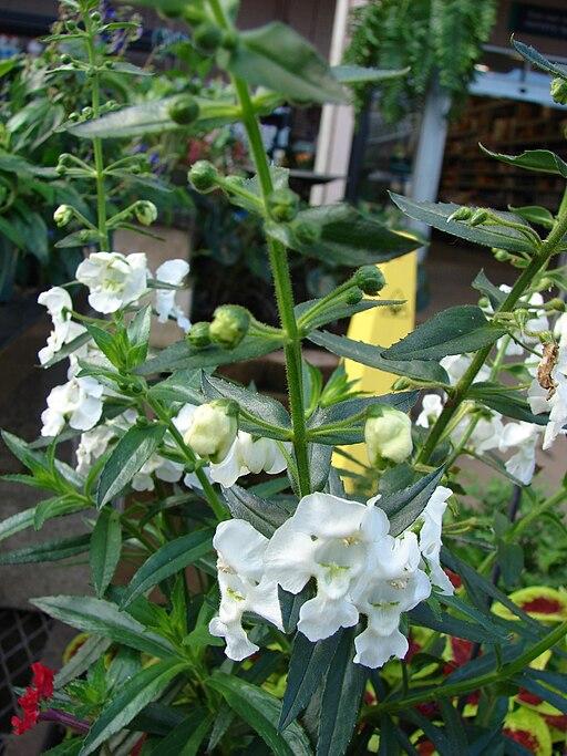 Starr 080103-1305 Angelonia angustifolia