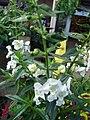 Starr 080103-1305 Angelonia angustifolia.jpg