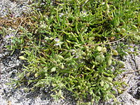 Starr 080601-5237 Spergularia marina.jpg