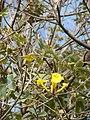 Starr 080716-9310 Tabebuia serratifolia.jpg