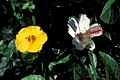 Starr 990212-0122 Hibiscus waimeae.jpg
