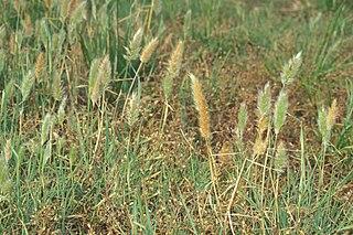 Polypogon genus of plants
