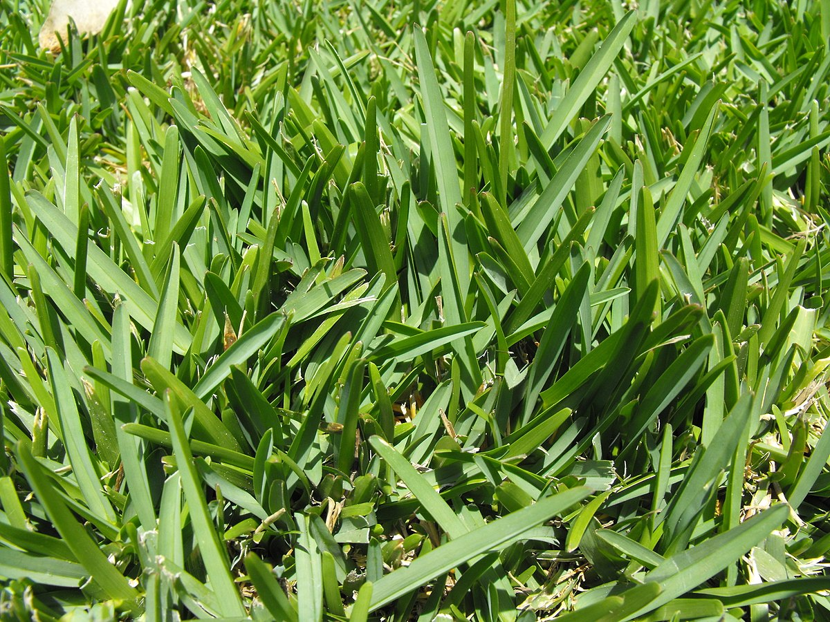 St augustine grass wikipedia for Care for new sod