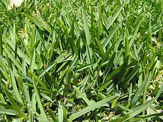 St. Augustine grass Species of plant