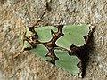 Staurophora celsia - Совка роскошная (41131332221).jpg