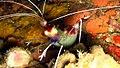 Stenopus hispidus Taiwan.jpg