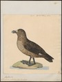 Stercorarius antarctica - 1824-1839 - Print - Iconographia Zoologica - Special Collections University of Amsterdam - UBA01 IZ17900194.tif