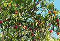 Strawberry Tree (Arbutus unedo) (15906338945).jpg