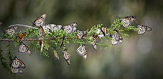 Monarch butterfly - String of Monarchs wintering at the Pismo State Beach Monarch Preserve, 2015