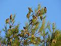 Sturnus vulgaris stop on migration.jpg