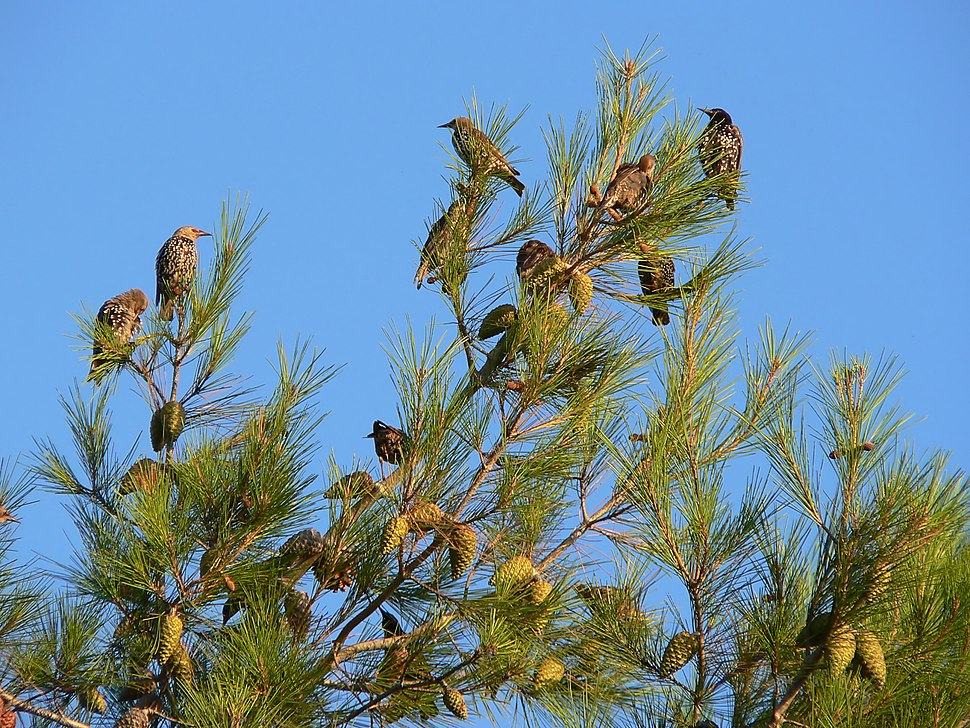 Sturnus vulgaris stop on migration