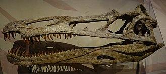 Suchomimus - Reconstructed skull, Museum of Ancient Life, Utah