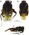 Sulawesimetopus henryi (10.3897-zookeys.796.21273) Figure 1.jpg
