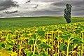 Sunflowers For A Single Tree (44289470).jpeg