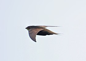 Swift (Apus apus).jpg