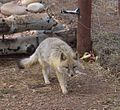 Swift Fox Colorado Wolf and Wildlife 01.jpg