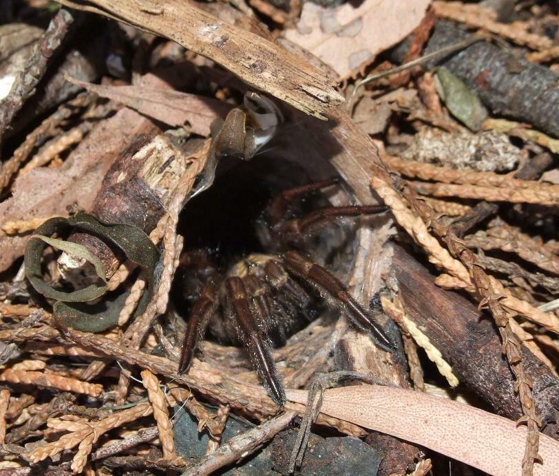 Sydney-brown-trapdoor-spider 002