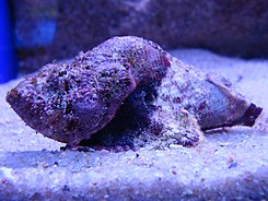 Synanceia sp.002 - Aquarium Finisterrae.JPG