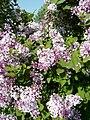 Syringa pubescens arboretum Breuil 2.jpg